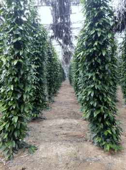 Pepper grows as vines, it needs a lot of shade.