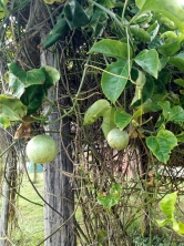 Can you guess the name of this fruit?