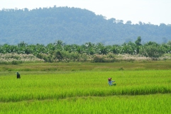 Paddy fields with the Bokor national park in the background